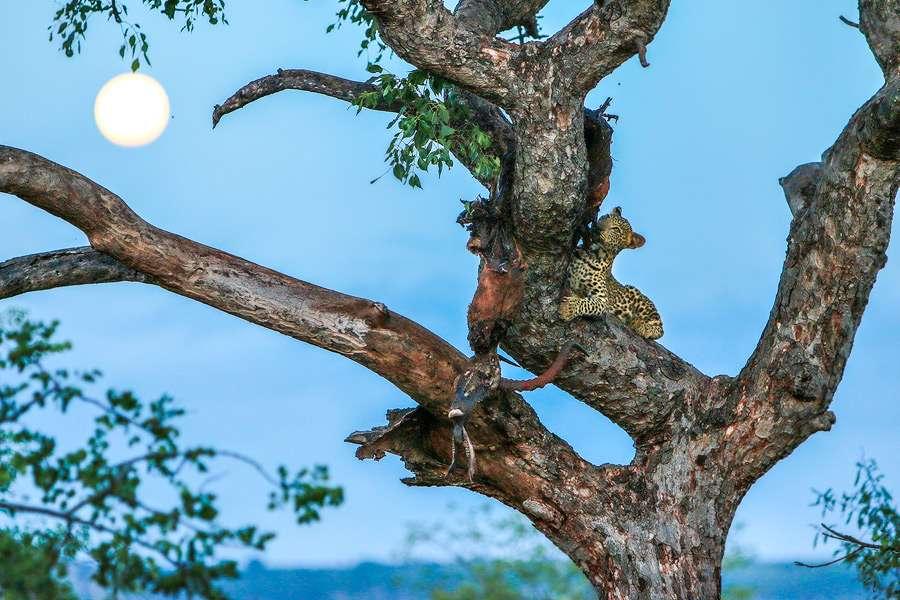 Blue Leopard Moon