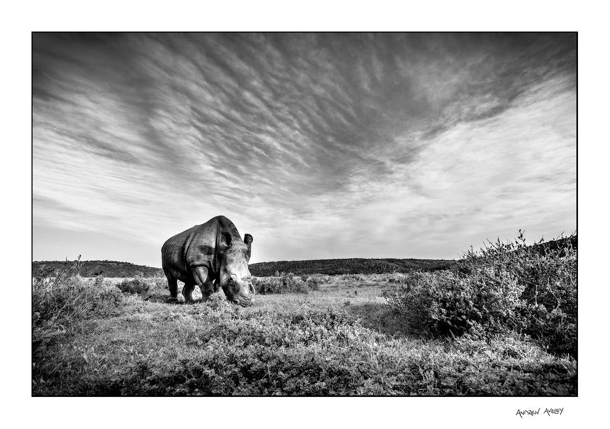 wide angle image of Thandi the rhino