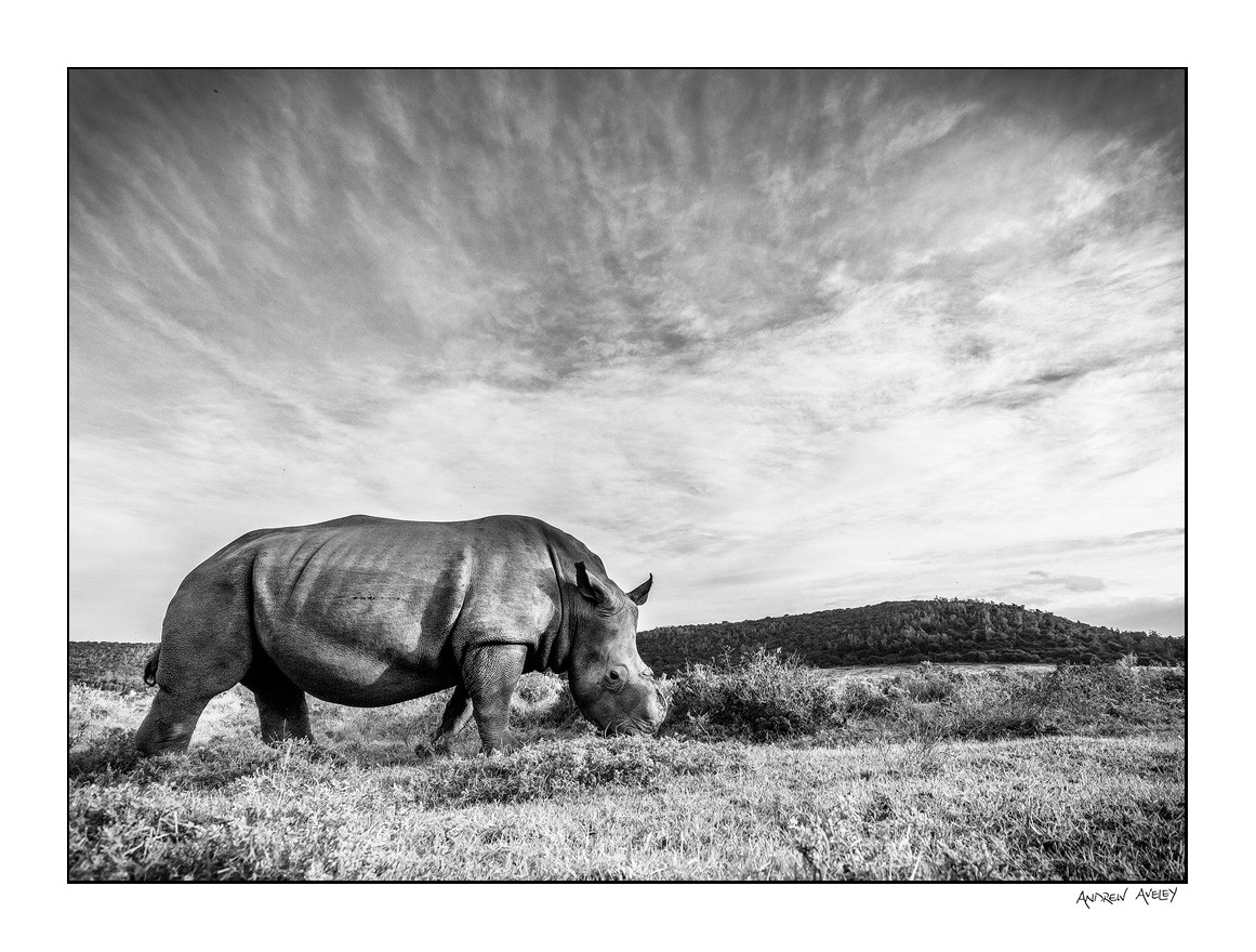 wide angle shot of Thandi the rhino
