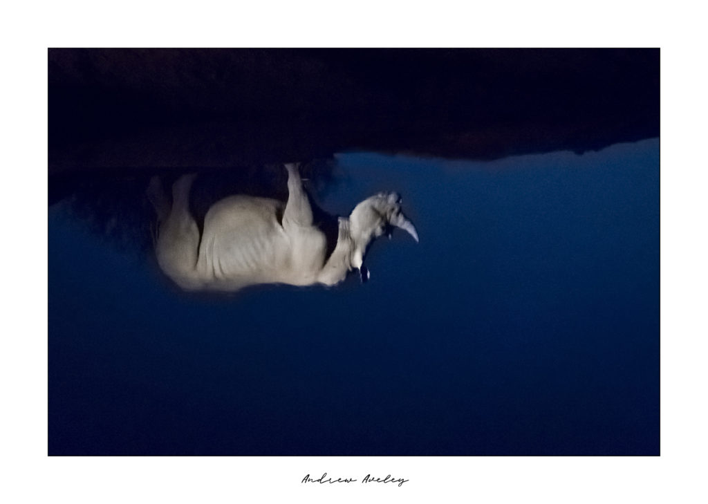 Tranquil Reflection - Rhino Fine Art Print by Andrew Aveley - purchase online