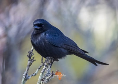 Canon EF Lens and R6 for great bird photography Fork tailed drongo
