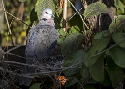 Canon EF Lens and R6 for great bird photography Cape turtle dove